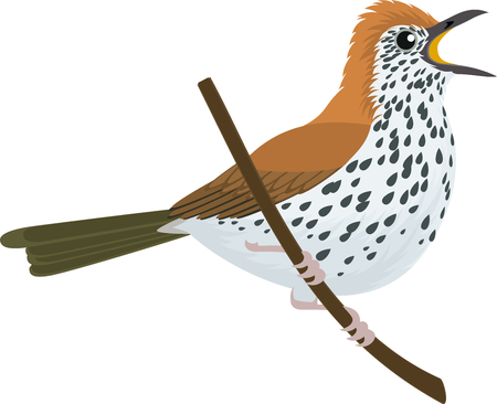 Vector wood thrush illustration on white background.