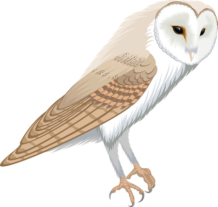 vector barn owl - tyto alba Illustration