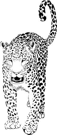 Black and white leopard or jaguar