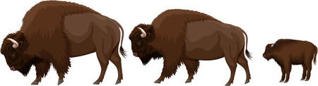 family of brown zubr buffalo bisons with kid Ilustracja