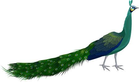 vector male green peafowl Illustration