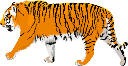 vector Amur tiger Illustration