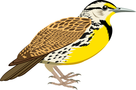 vector Western Meadowlark