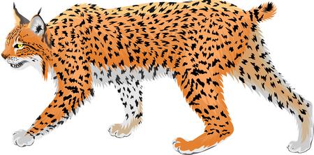 vector wild bobcat lynx Ilustrace