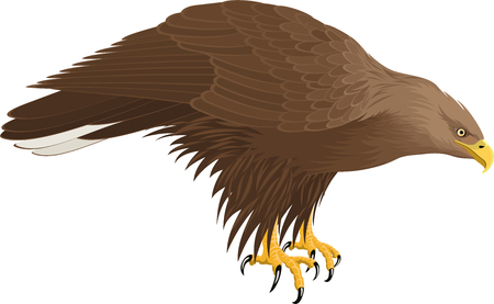 vector white-tailed eagle