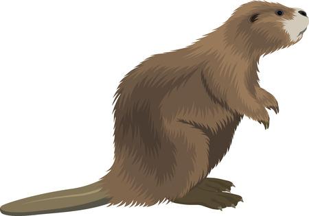 vector ilustración de castor Ilustración de vector