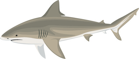 vector bull shark (Carcharhinus leucas) Zambezi shark illustration