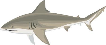 wektor byk rekin (Carcharhinus leucas) Ilustracja rekina Zambezi Ilustracje wektorowe
