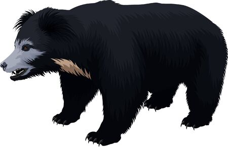 vector Indian sloth bear Illustration