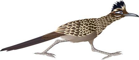 vector cuckoo Greater Roadrunner (Geococcyx californianus)