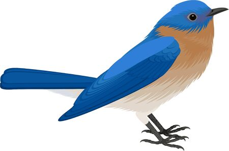 vector Eastern Bluebird (Sialia sialis) Vetores
