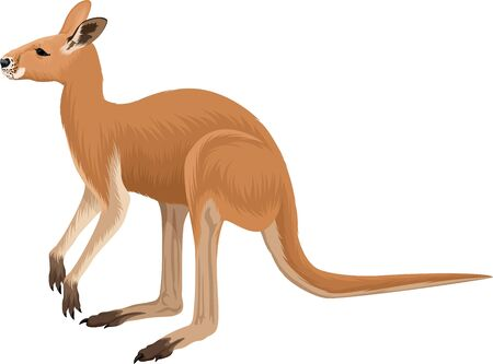 vector australian red kangaroo illustration