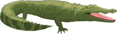vector color Australian saltwater crocodile Vettoriali