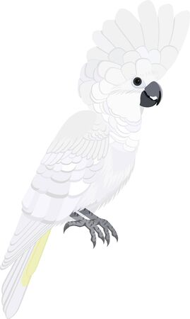 vector Australian bird white cockatoo