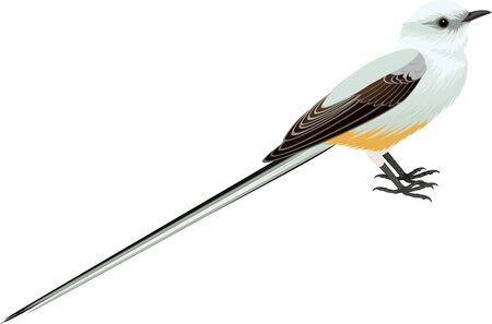vector Scissor tailed Flycatcher illustration Illustration