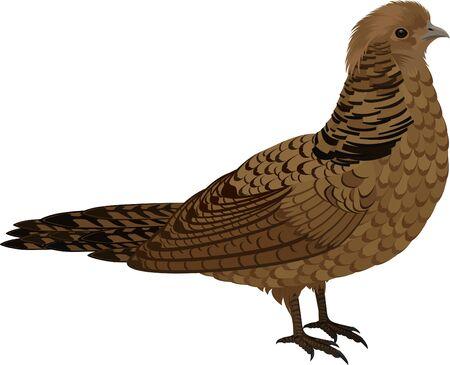 vector bird Ruffed Grouse illustration