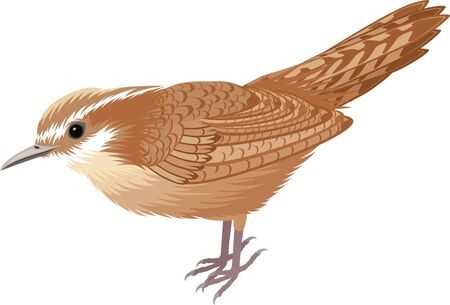 vector South Carolina State Bird - The Carolina wren (Thryothorus ludovicianus)