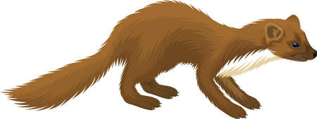 vector european pine marten illustration Ilustracja