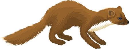vector european pine marten illustration Illustration
