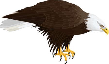 Bald eagle isolated on white - vector illustration