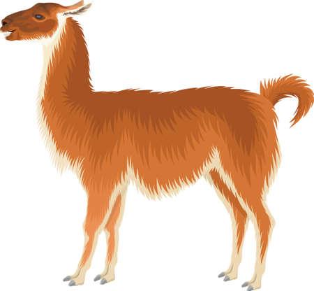 Wild llama illustration