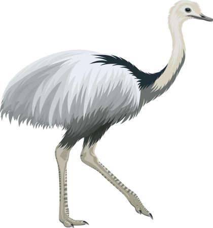 Vector greater rhea, flightless bird illustration Ilustrace