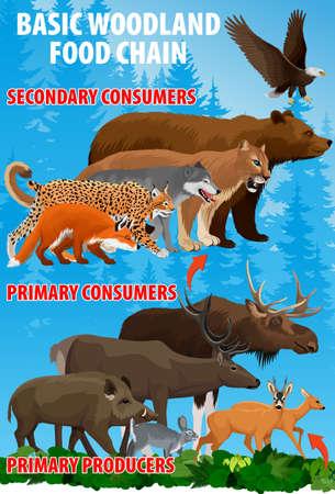 Basic green forest woodland food trophic chain. Forest ecosystem energy flow. Vector illustration. Illustration