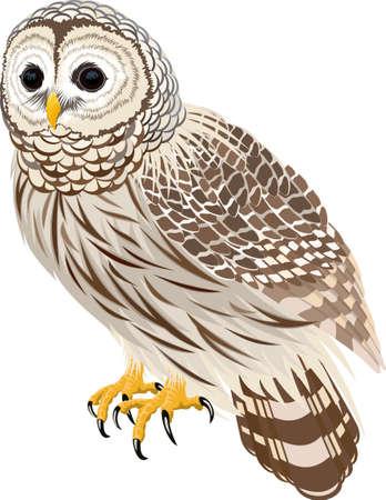 vector florida barred owl illustration
