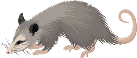 vector North American opossum (Didelphis virginiana) illustration 写真素材 - 157898874