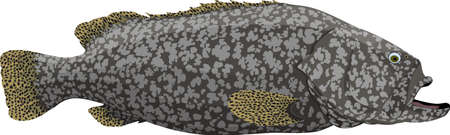 vector Giant grouper, also known as the Brindlebass