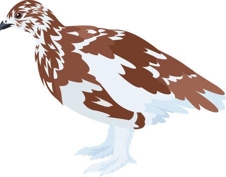 vector arctic partridge willow ptarmigan