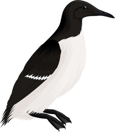 vector arctic bird common murre or guillemot