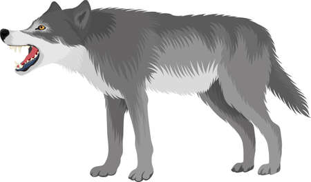 vector wolf (Canis lupus), also known as the gray wolf Ilustração