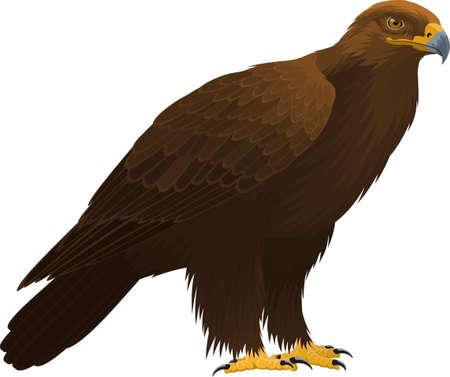 vector birds of prey golden eagle Ilustração