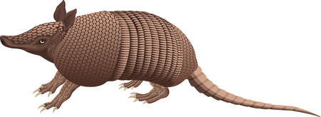 Nine-banded armadillo isolated vector illustration