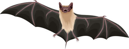 vector Mexican Free-Tailed Bat illustration