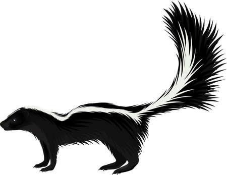 vector North american striped skunk 向量圖像