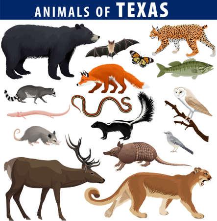 vector set - animals of Texas: black bear, puma, lynx, deer, skunk, bat, Bass fish, armadillo, fox, Mockingbird, barn owl, garter snake, opossum, salamander, racoon and butterfly 向量圖像