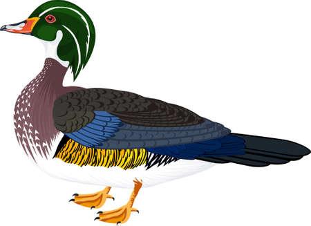 vector wood duck or Carolina duck