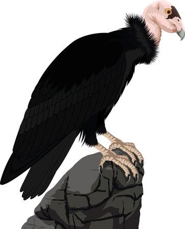 California condor vector isolated illustration