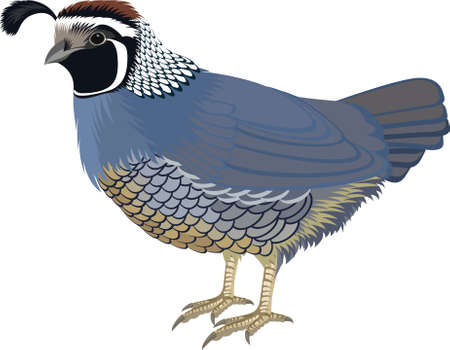 vector California valley quail illustration Ilustración de vector