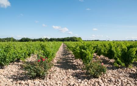 rhone: grape vines in Provence Stock Photo
