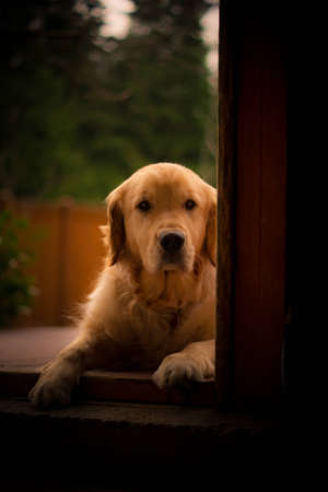 retreiver: Golden Retreiver waiting in doorway Stock Photo