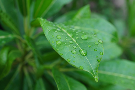 surface tension: A lot of dew drops on remain on the green leave after raining Stock Photo