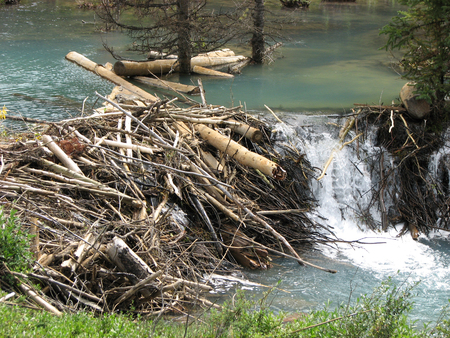 close up of a beavers home