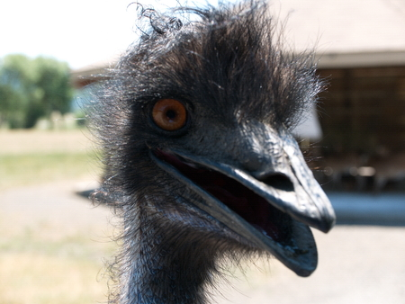 An animated and curious ostrich comes close to inspect activity and has something to say about it all at the Wildlife Safari in Winston in Southwestern Oregon on a summer day. Stock Photo