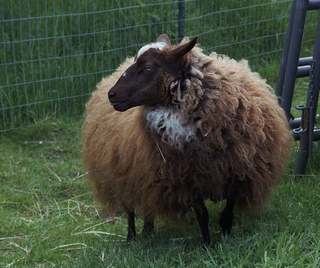 A brown and white sheep at the edge of a pasture in Western Oregons Willamette Valley is due for its spring sheering.