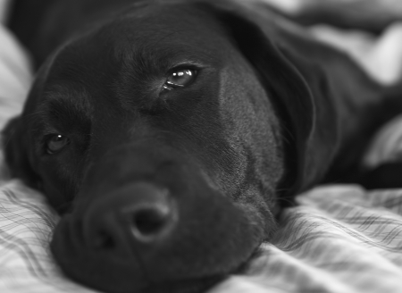 Black Lab Laying On Bed