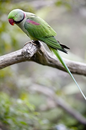 Alexandrine Parakeet (Psittacula eupatria) Perched on a tree branch in the Hong Kong Aviary