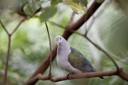 Nicobar Pigeon (Caloenas nicobarica) Perched in at tree at the Hong Kong Aviary photo